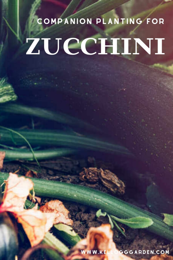 """Zucchini plant with text, """"companion planting for zucchini"""""""