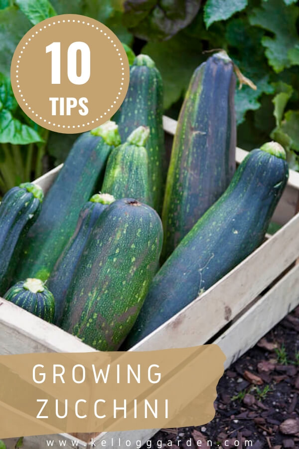 "Zucchini in crate with text, ""10 tips for growing zucchini"""