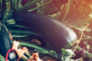 Close up of homegrown organic Zucchini growing in a vegetable garden.