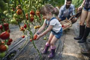 A little girl helps her parents harvest tomatoes