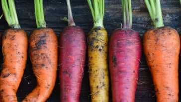 Freshly harvested organic rainbow carrots, orange, yellow, and purple
