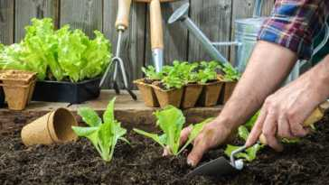 planting young seedlings of lettuce salad in the vegetable garden