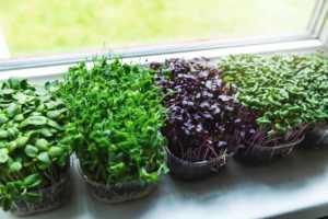 microgreens growing on windowsill