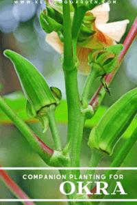 upclose okra plant