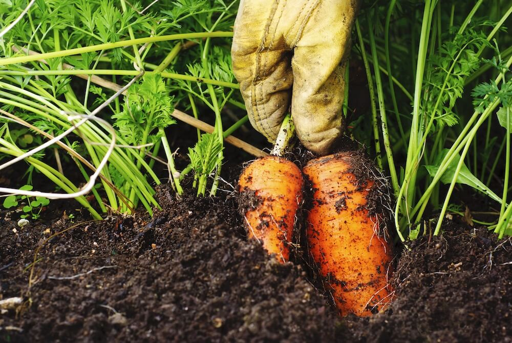A gloved hand pulling twp organic, home-grown carrots.