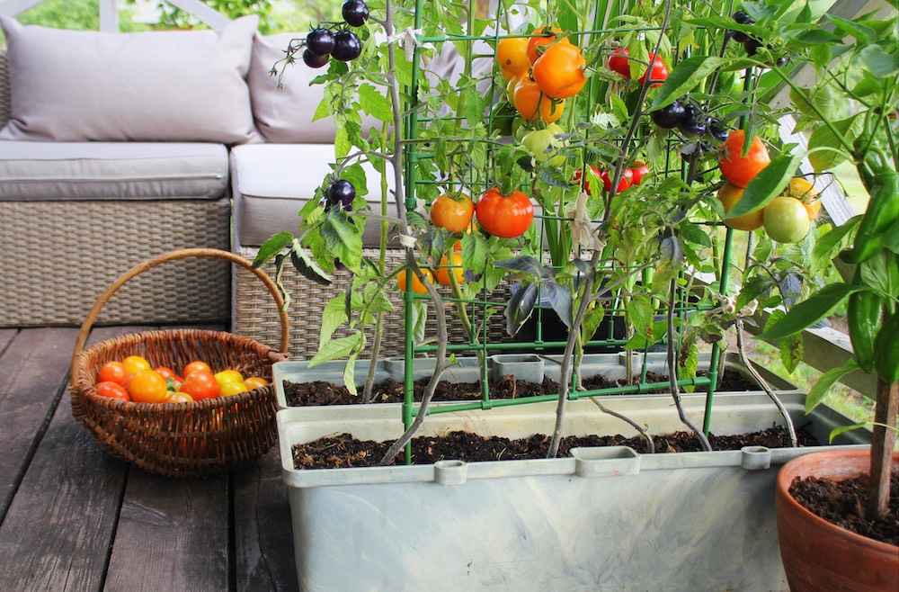 red, orange, yellow, and black tomatoes growing in container