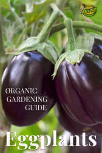 "Two purple eggplants with text, ""Organic gardening guide, eggplants"""