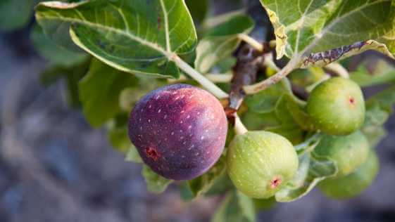 purple and green figs on a branch