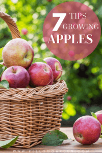 red apples harvested in a basket pin image