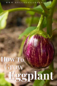 "Eggplant hanging from stem with text, ""How to grow eggplant"""