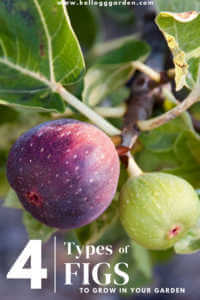 """Close up of figs of trees, with text, """"4 types of figs to grow in your garden"""""""