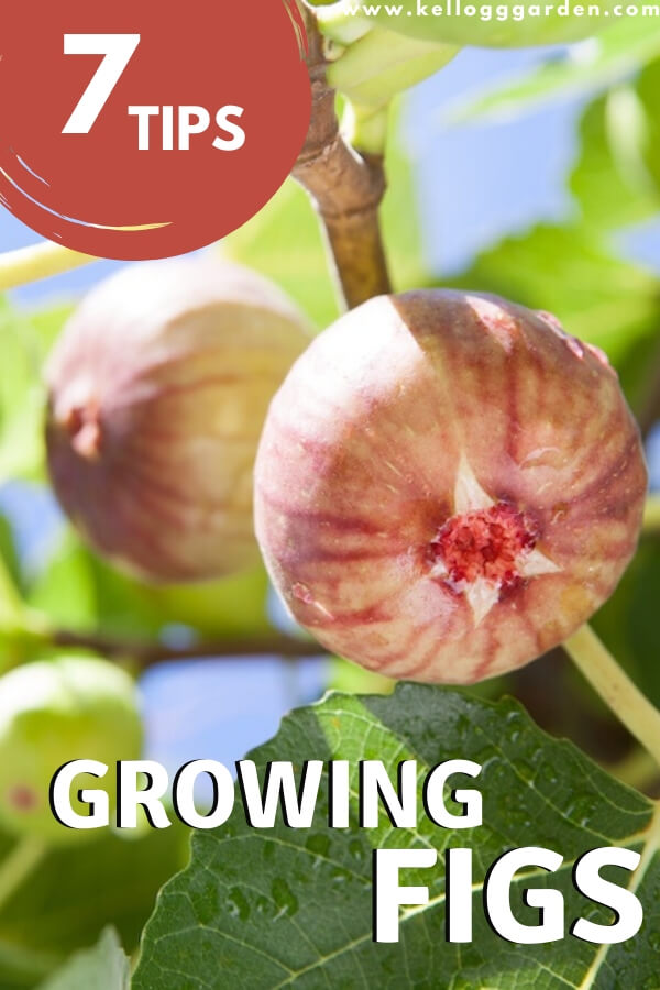 "Pink figs on tree with text, ""7 tips, growing figs"""