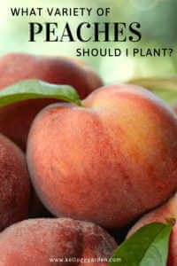 "up close peaches with text, ""What variety of peaches should I plant?"""