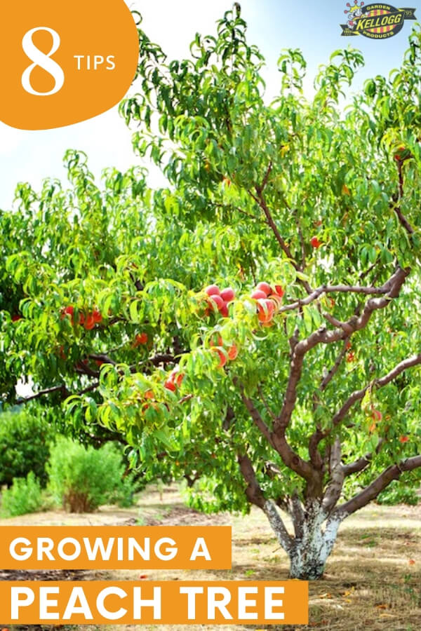 "Peach tree with text, ""8 tips growing a peach tree"""