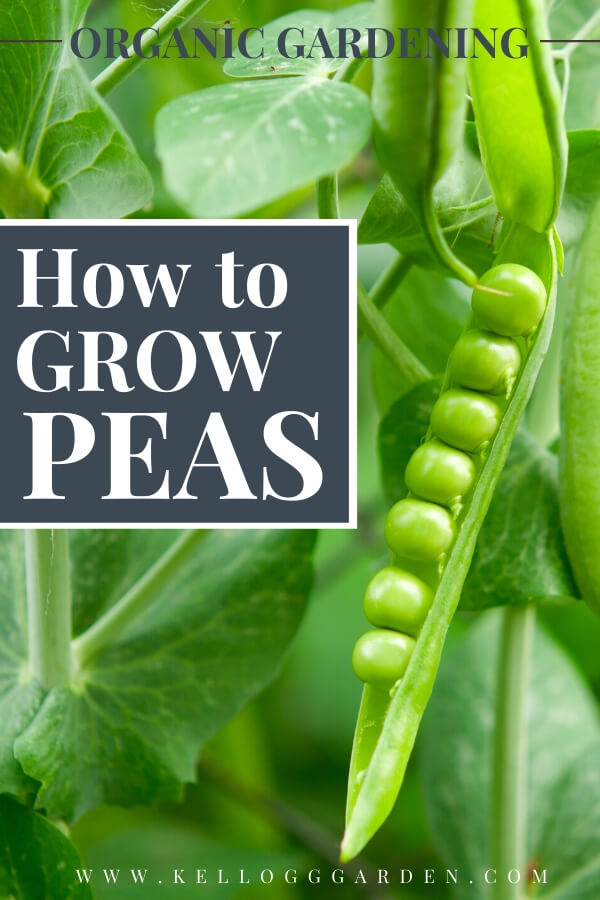 "Close up photo of a green pea pod with text, ""Organic gardening, how to grow peas"""