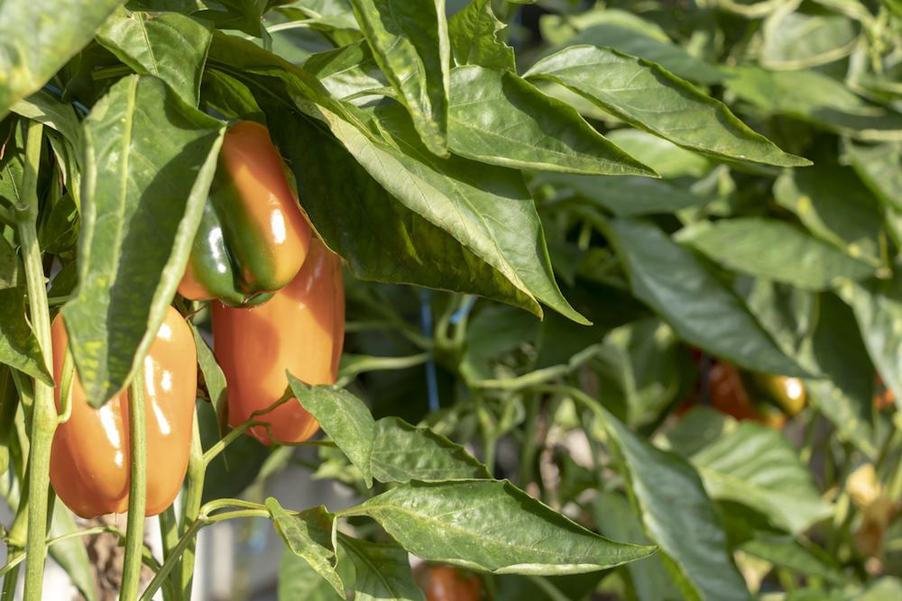 Orange pepper growing.