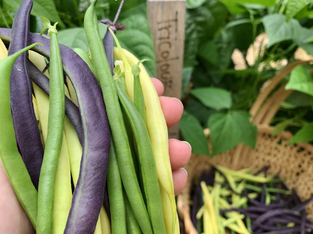 Freshly harvested green, yellow and purple beans from a garden