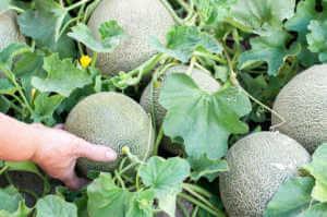 Melon fruits, cantaloupe, in a vegetable garden