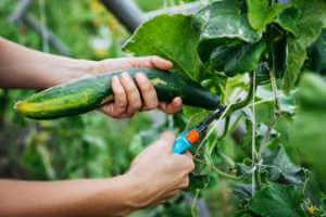 Man using pruning shears to harvest a cucumber.