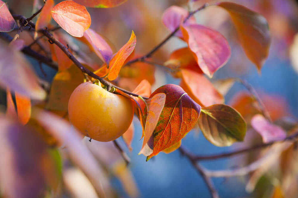 Orang persimmon hanging on a tree with fall colored red and orange leaves.