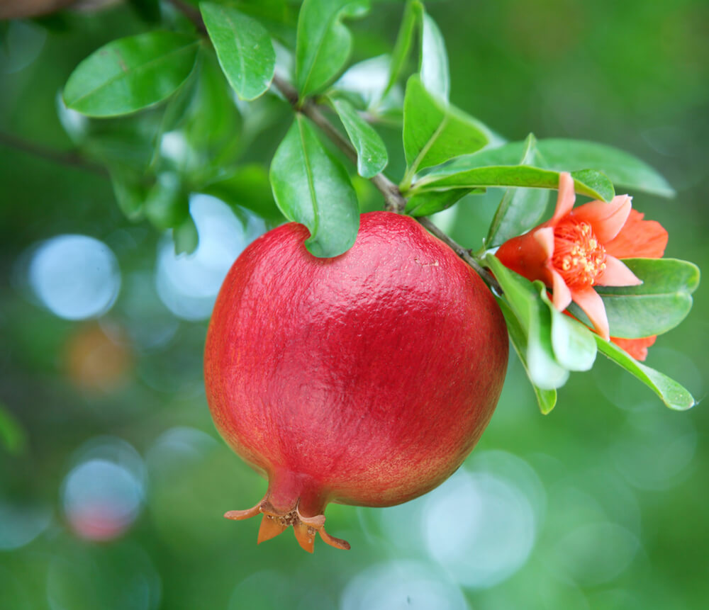 Ripe pomegranate on the branch. The foliage on the background.