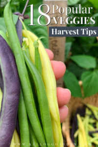 """Man holding purple, green and yellow beans with text,"""" 18 popular veggies, harvest tips"""""""
