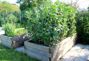 peas growing in from a raised bed made for timber