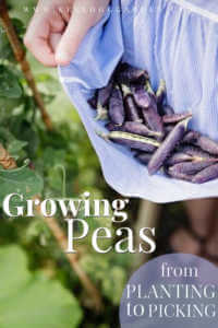 """Woman holding purple peas in the top like a basket with text, """"Growing peas, from picking to planting"""""""