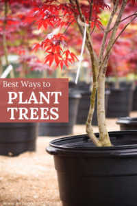 "Saplings in pots with red leaves with text, ""Best ways to plant trees"""
