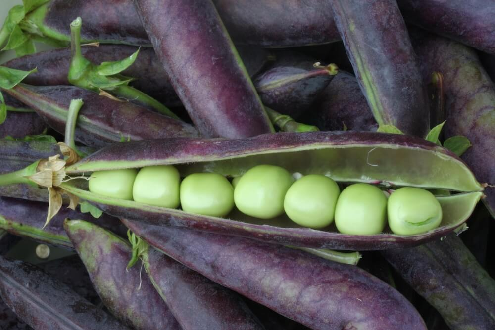 purple pea pods with one open to show green peas within