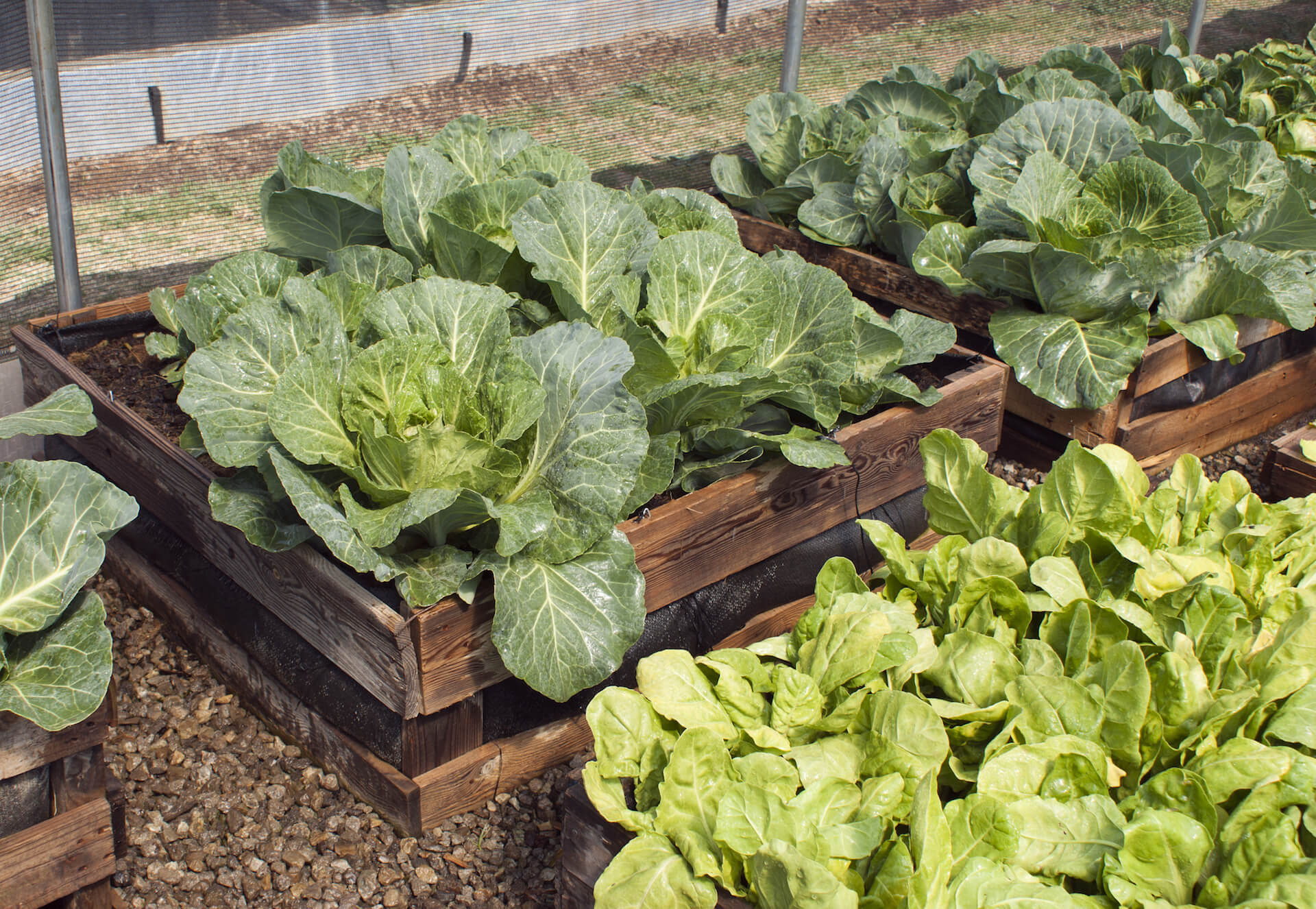 Raised bed vegetable garden growing large, leafy greens.