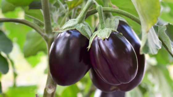 Ripe purple eggplants growing in the vegetable garden