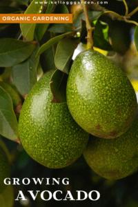 avocado pin image