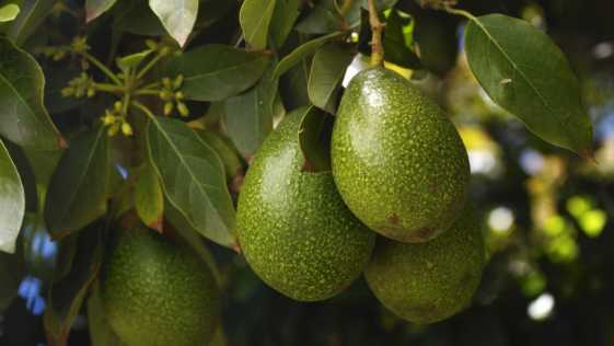Close-up of a ripening avacados
