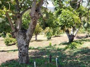 two mature avocado tree