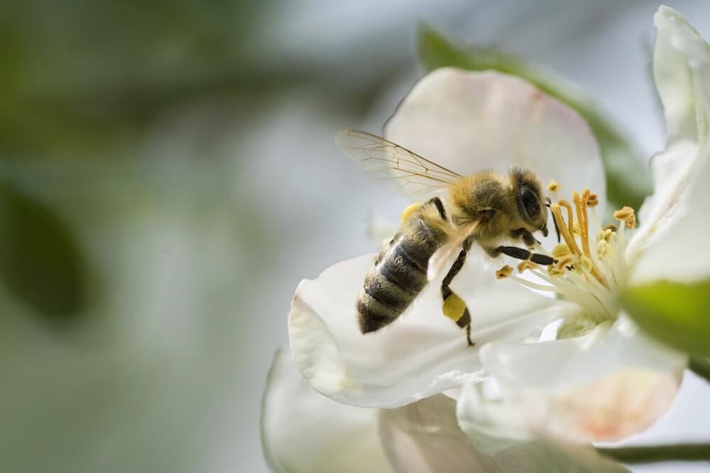 Honey Bee at Apple branch blossom
