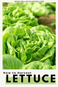 green butterhead lettuce pin image