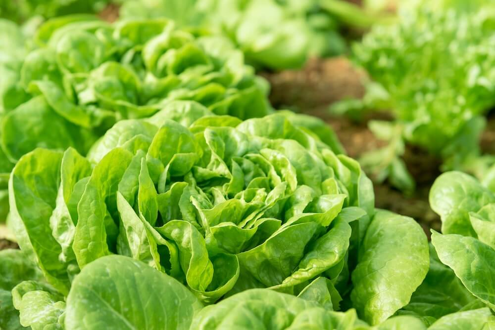 green butterhead lettuce