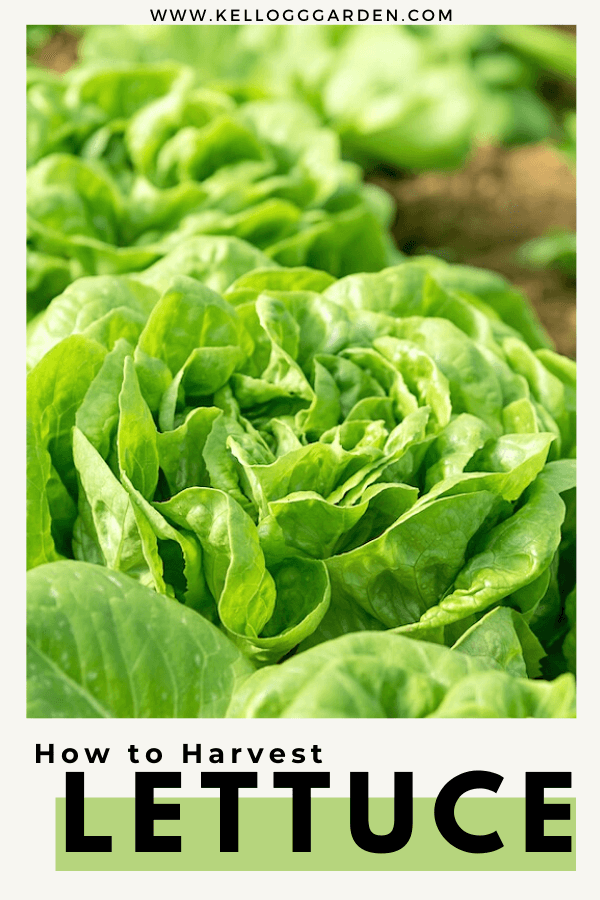 green butterhead lettuce pin image