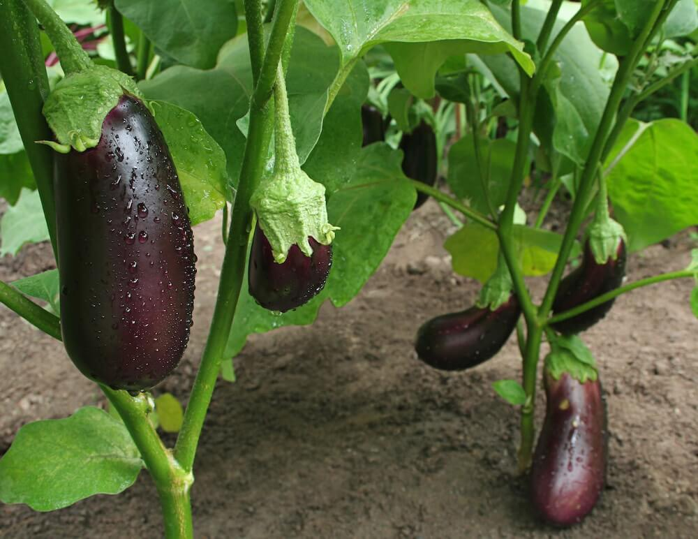 purple egg plant with water droplets in the round