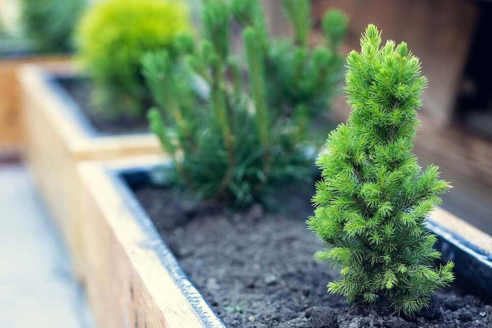 Beautiful green conifers in wooden pots.