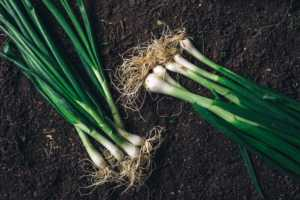 green onions on brown dirt