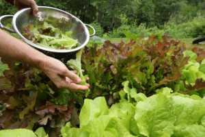 hand harvesting lettuce leaves