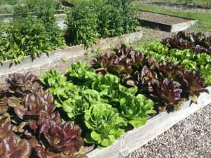 purple and green lettuce in raised bed garden