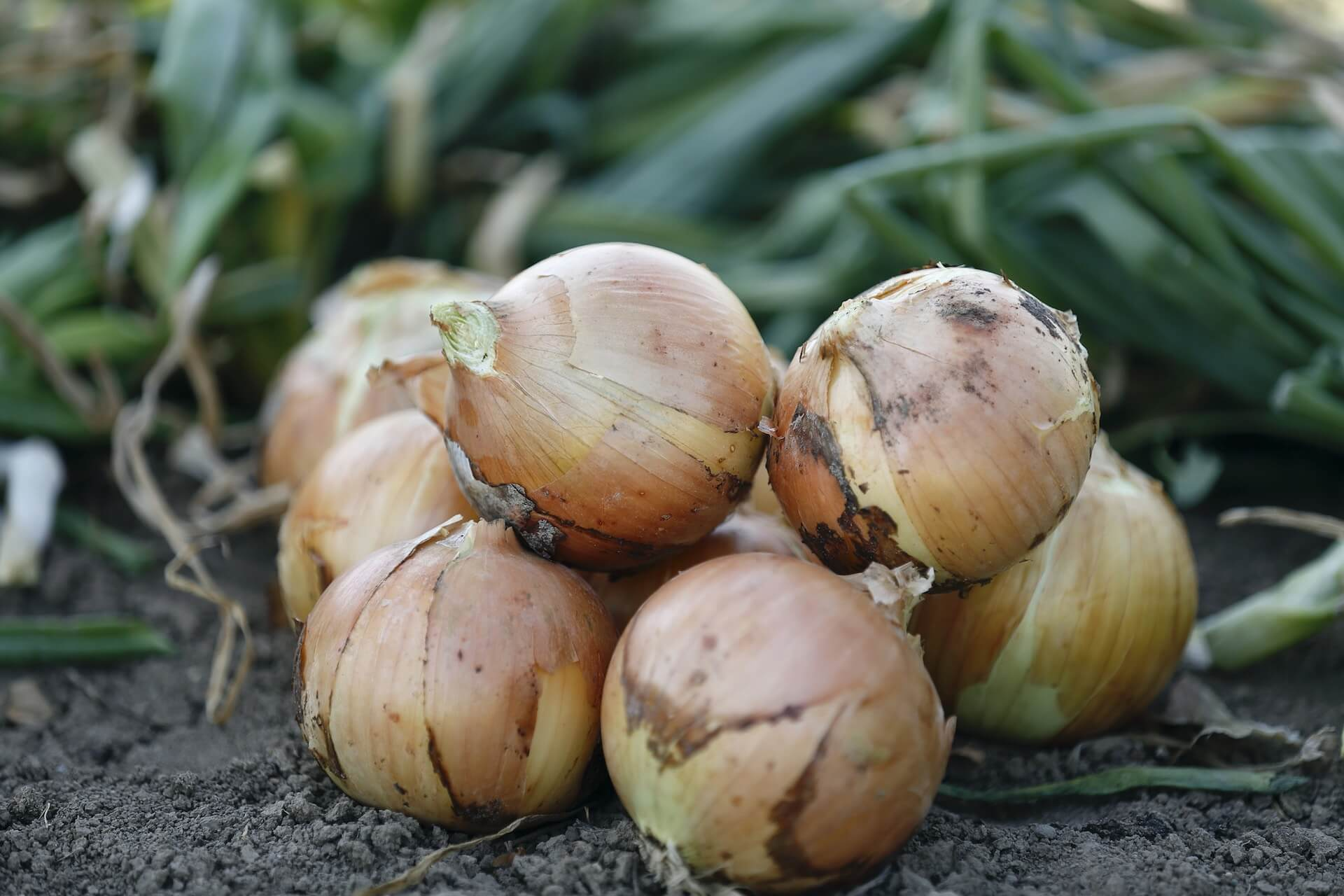 group of onions in field