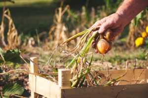 man harvesting yellow onion