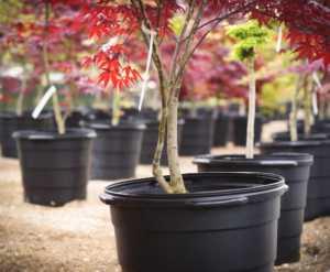 Japanese Maple in a nursery.
