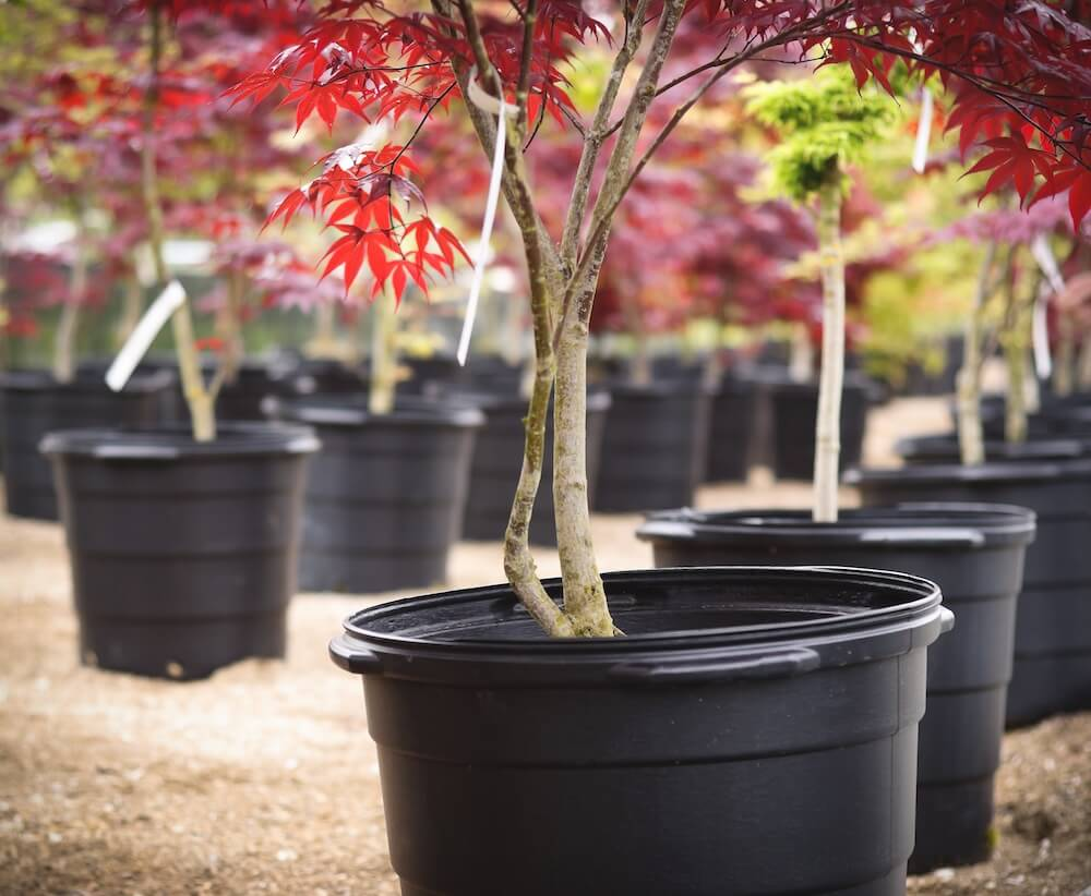 Japanese Maple in a nursery.