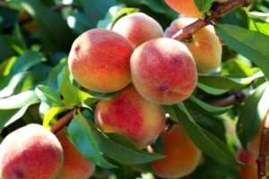 Natural fruit. Pink peaches on peach tree branches