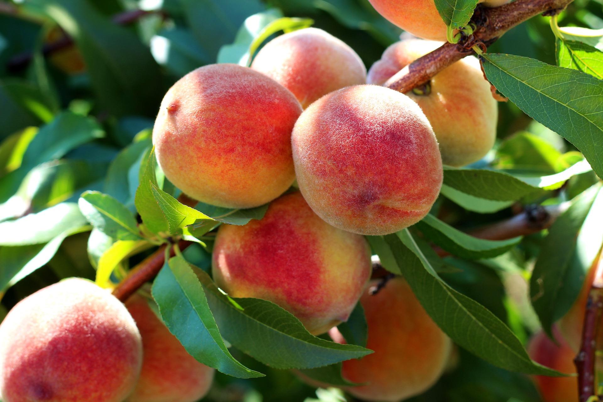 How To Grow A Peach Tree Kellogg Garden Organics